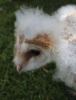Baby Barn Owl 01 by EscaBowmer