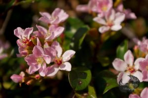 Pink Flowers by MariaWillhelm