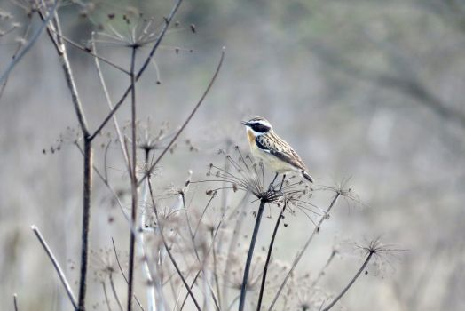 Singing whinchat by AnAE11