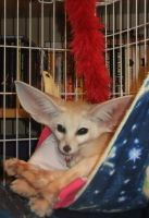 Fennec fox in a hammock by Corsacfoxes