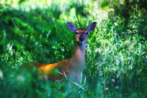Whitetail Doe 2 by S-H-Photography