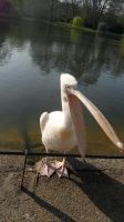 yawning pelican by Duckmad