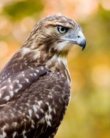 Red Tailed 1 by rscorp