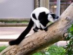 Black and White Ruffed Lemur 001a by Rice3