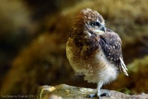 Burrowing Owl by Sagittor