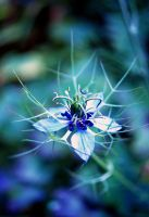 Love in a Mist by WingChant