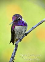 Costa's Hummingbird by CeeThruMyEyes