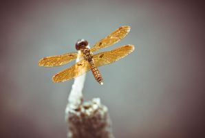 The golden dragon fly by ahley