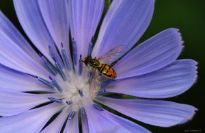 Hover Fly Lolleypop by natureguy