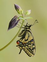 machaon 2009 by dralik