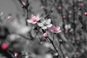Cherry Blossom - Color Splash by xXRookieXx