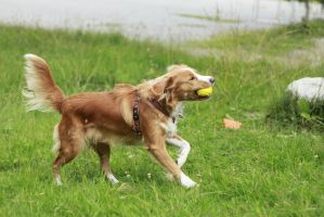 Nova scotia duck tolling retriever in motion by Spetsflickan