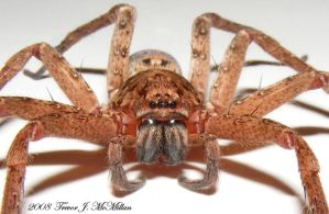 Brown Huntsman 2 by EdgarAllanMcKafka