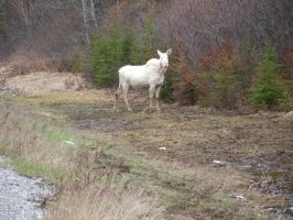 albino moose by hellbentmansions