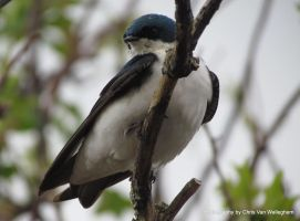 Literal Tree Swallow III by vanwaglajam