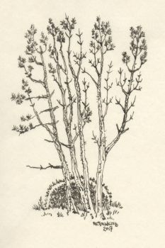 White Pine Study by Zage56