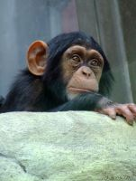 Chimp II by ninas-photography