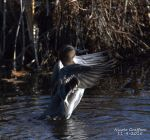 Green-Winged Teal Drake by SlateGray