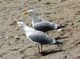 2 Gulls Out For A Squawk by Wilcox660