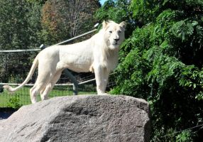 african white lion by Pawnee