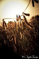 Soybeans 01 by cthacker
