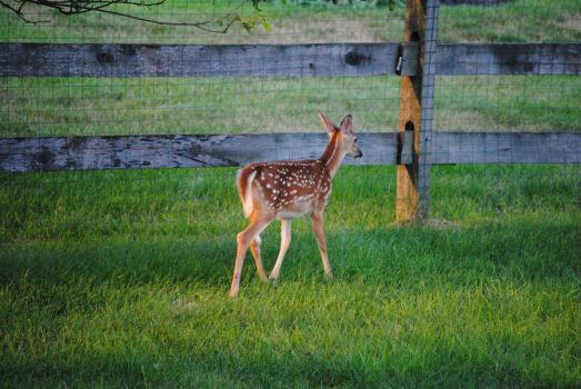 White Tailed Deer Fawn 1.3 by mocking-turtle-stock