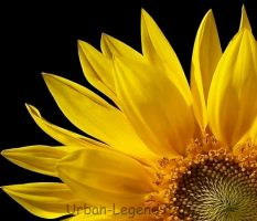 Sunflower by urban-legend996