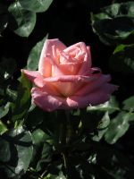 Pink rose pic 3 by Nipntuck3