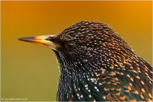 Autumn Starling. by andy-j-s