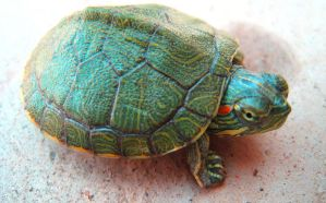 Tiny Turtle by syedmaaz