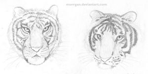 Tigers by Morrgan