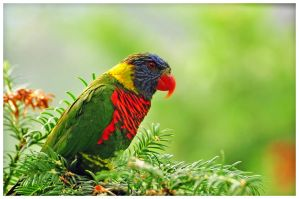 Birds 38 - Lorikeet by RomRom53