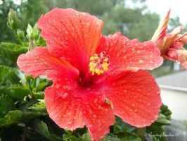 Hibiscus by CountryBumkin