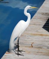 White Heron by SBG-CrewStock