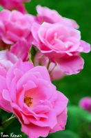 Roses by tomkenar