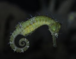 Stock - Seahorse by cleonor-stalk
