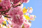 Cherry blossoms and other spring dreams... by Valdkynd