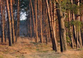 Looking through Pines by alban-expressed