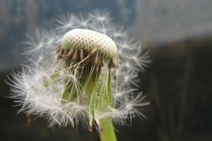 Seed Head by Its-Only-Stock