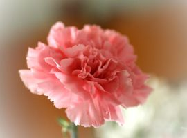 Pink Carnation by artstarter