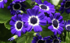 Cineraria by CASPER1830