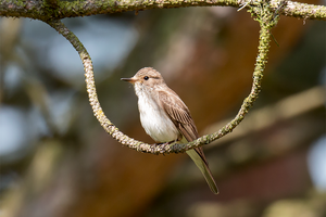 Spotted Flycatcher (Muscicapa striata) by Spotting-Nature