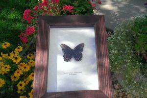 Red Spotted Purple Butterfly Sale by YourFramedButterfly