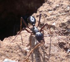 Bull-ant by Buggie1112
