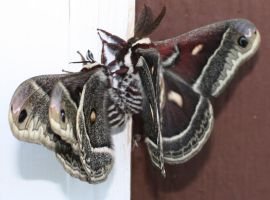 Large moths mating. by cheetahmikey