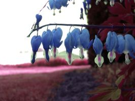 Blue bleeding hearts by smiling-x-within