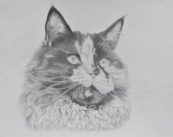 Maine Coon II by LittleMissRaven