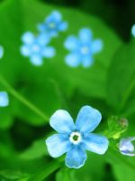 Forget-me-not by Surullinen