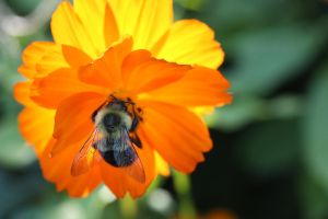 Bumble Bee on a Bright Flower by Toderico