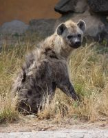spotted hyena by bookscorpion